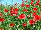 fotos de flores - foto de campo de amapolas rojas