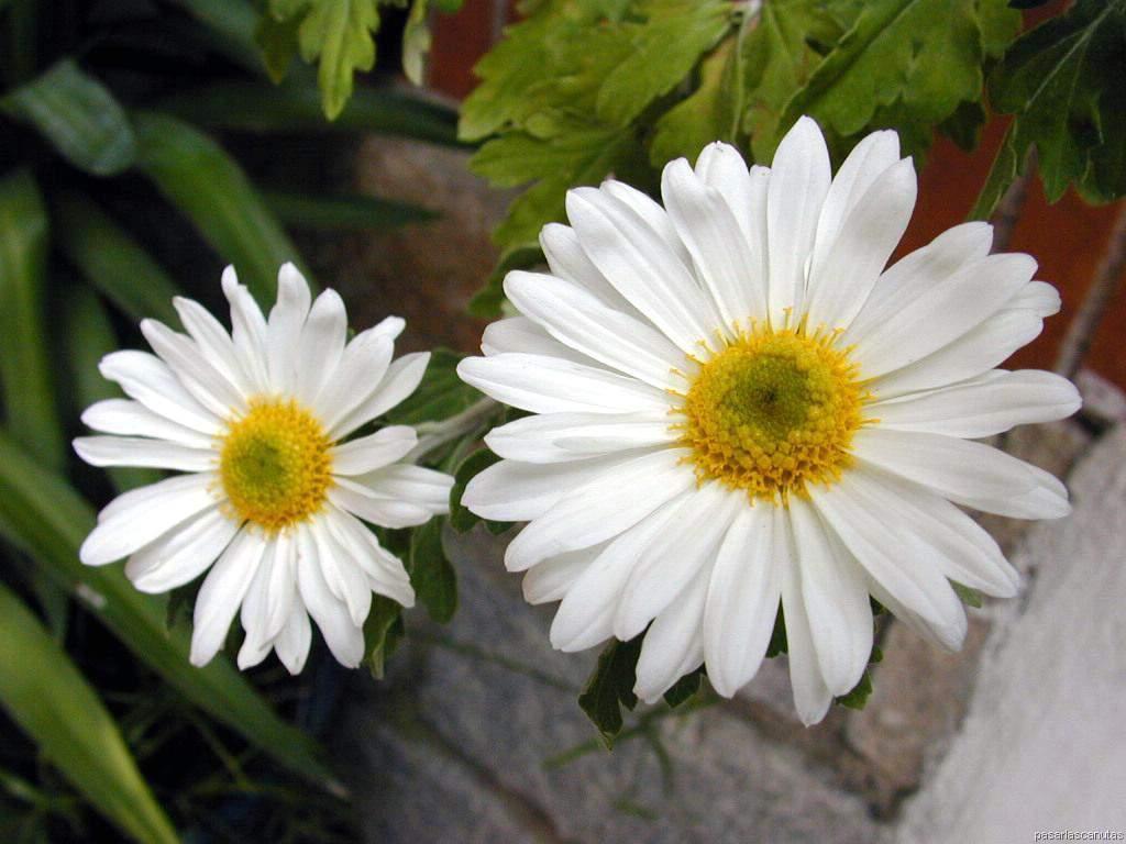 fotos de flores 4 - imagen de flores: margaritas