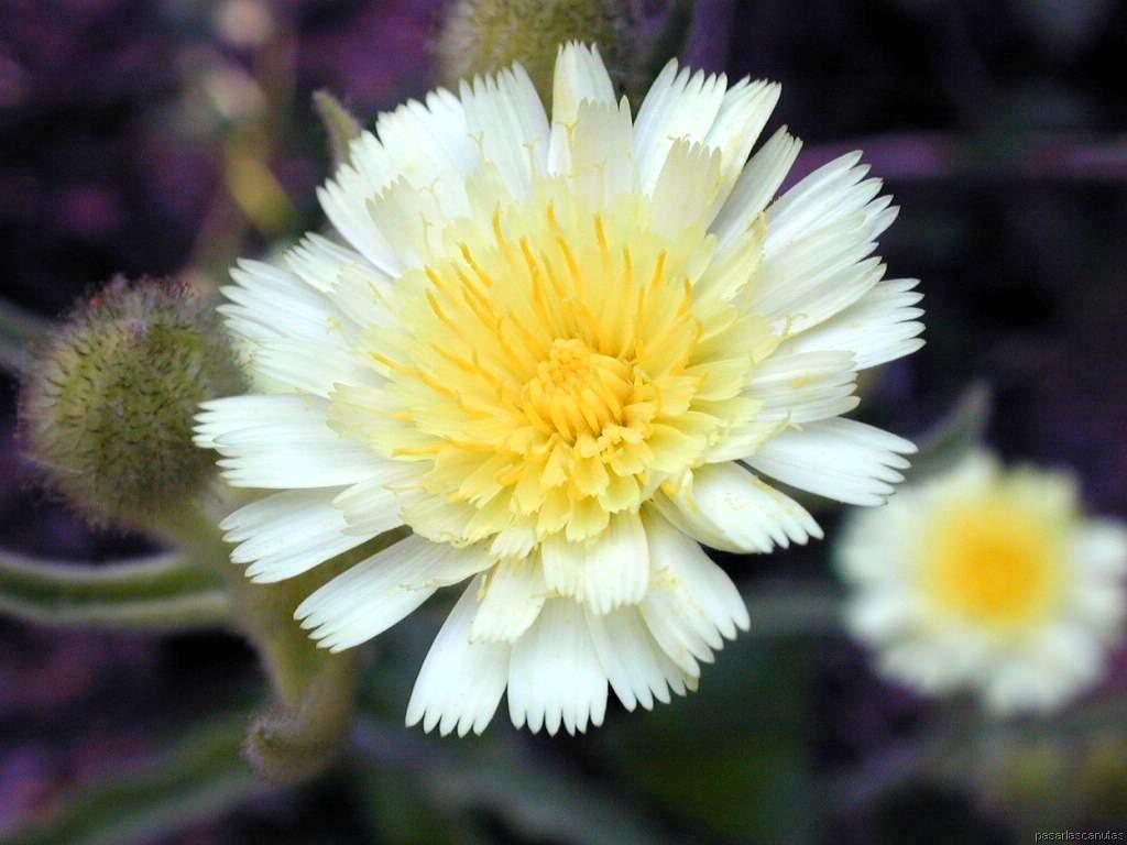 http://www.pasarlascanutas.com/flores/flores24.JPG