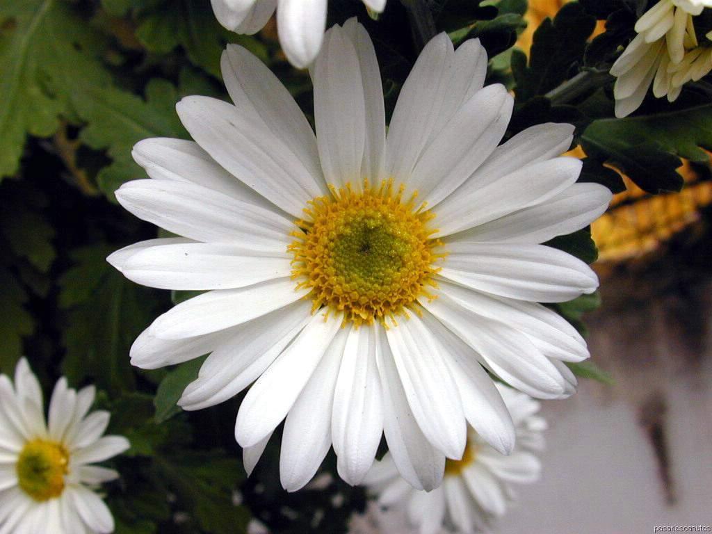 Fotos De Una Flor Margarita