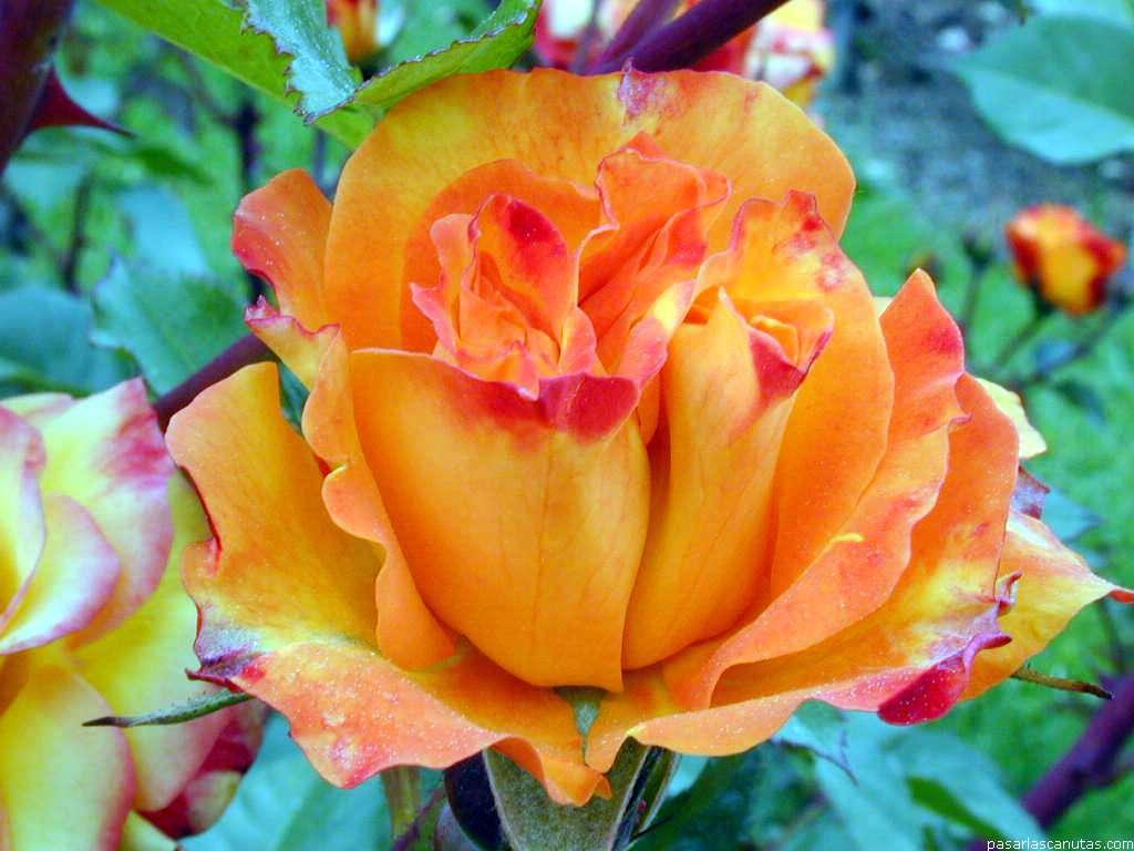 Fotos de rosas 240 fotos de calidad 1024x768 - Fotos flores bellas ...