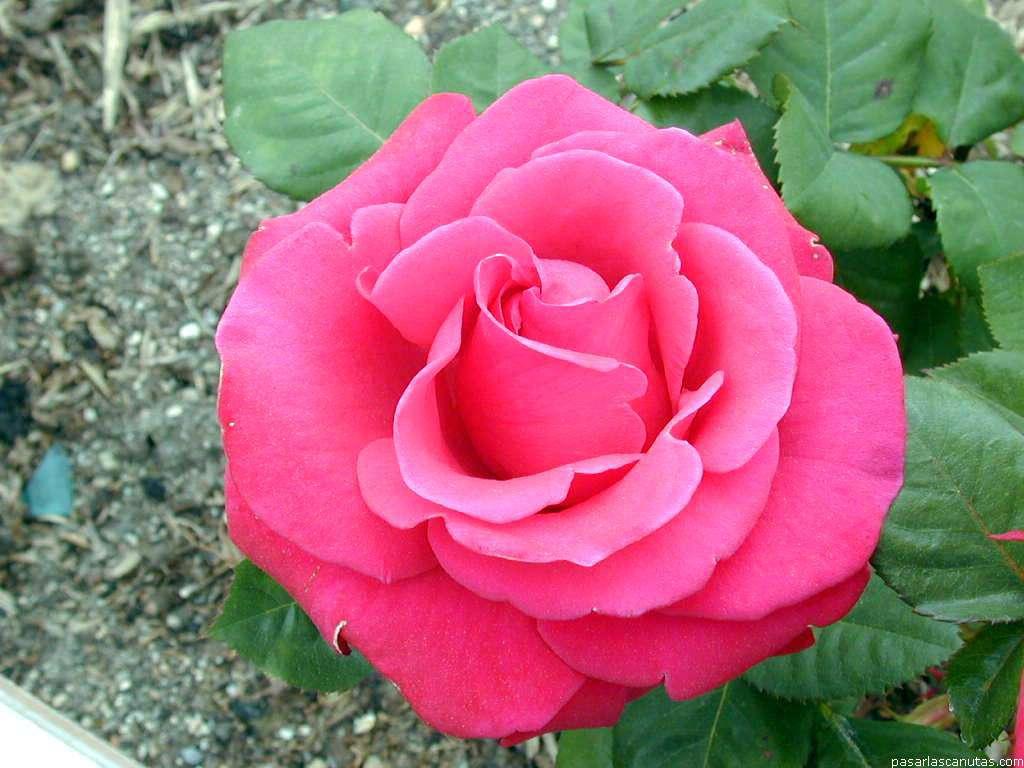 Image gallery imagenes flores y rosas for Imagenes bonitas para fondo de pantalla