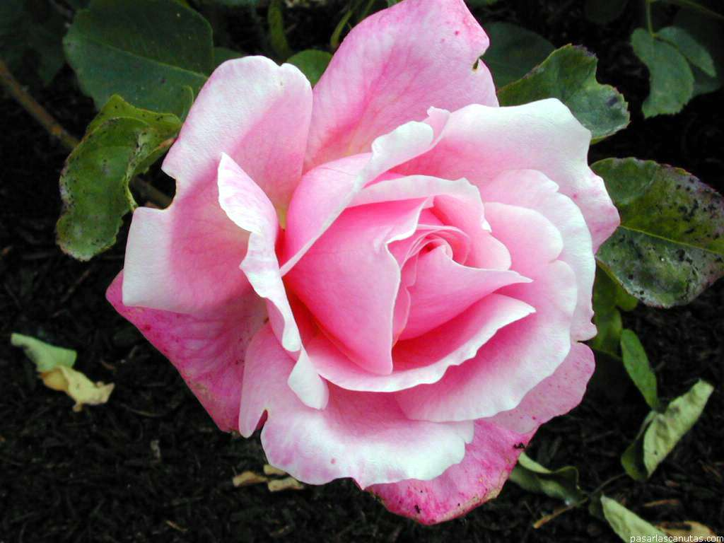 Imagenes De Flores Rosas