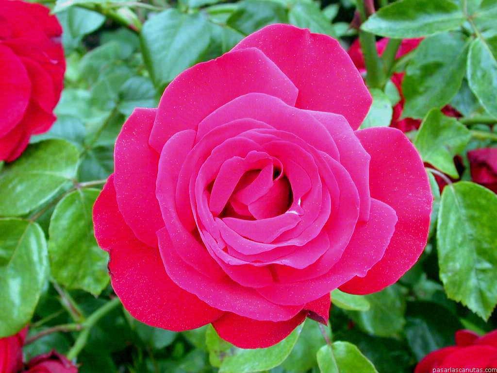 fotos de rosas imgenes de rosas y wallpapers de rosas fotos de flores rosas 2 pag 11 240 fotos. Black Bedroom Furniture Sets. Home Design Ideas