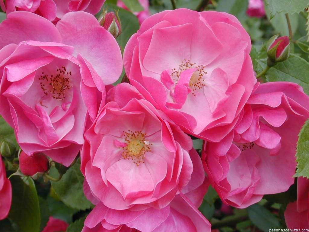 Fotos de flores - rosas 2 pag 12 ( 240 fotos de calidad 1024x768 )
