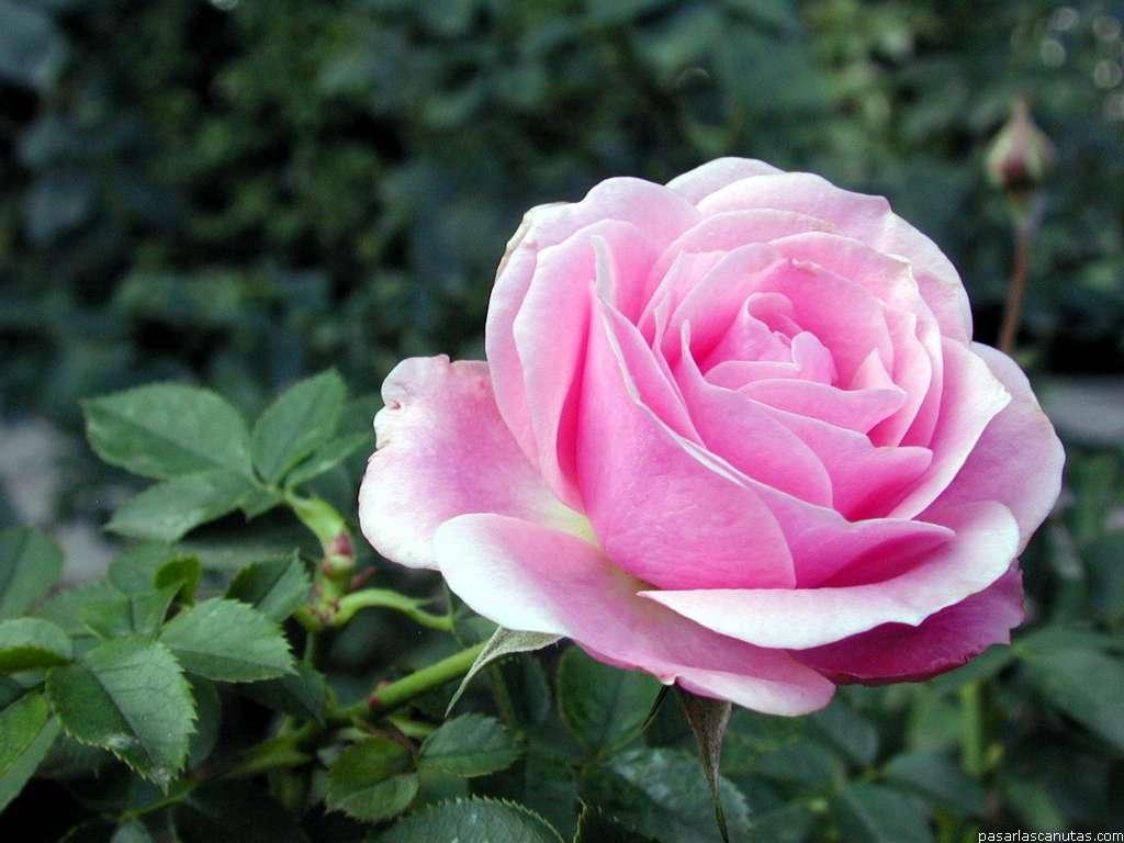 Imagenes De Rosas Salmon