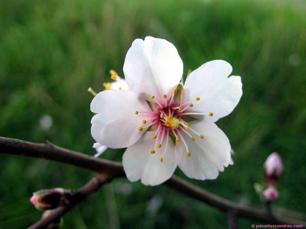 Resultado de imagen de flor del almendro