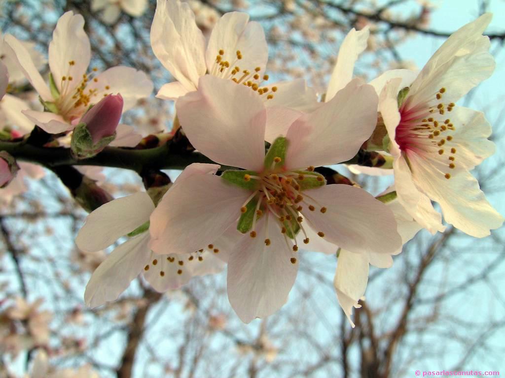 fotos de flores de almendro 12 de 1024x768 pixels