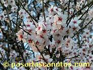 fotos de flores de almendro 03 de 1024x768 pixels
