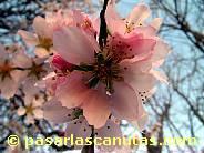 fotos de flores de almendro 13 de 1024x768 pixels