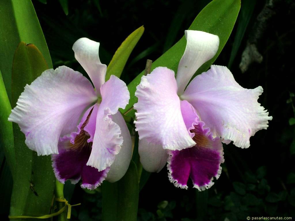 foto de flores orquideas blancas y malvas Cattleya de 1024x768 píxels