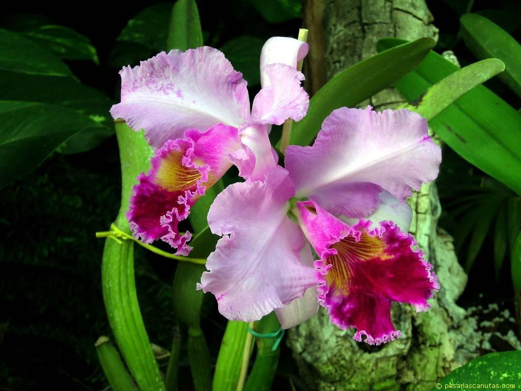 foto de flores orquideas multicolores Cattleya de 1024x768 píxels