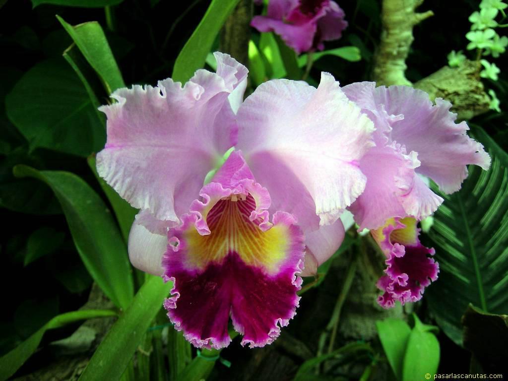 flores do jardim kboing:Flores De Orquideas
