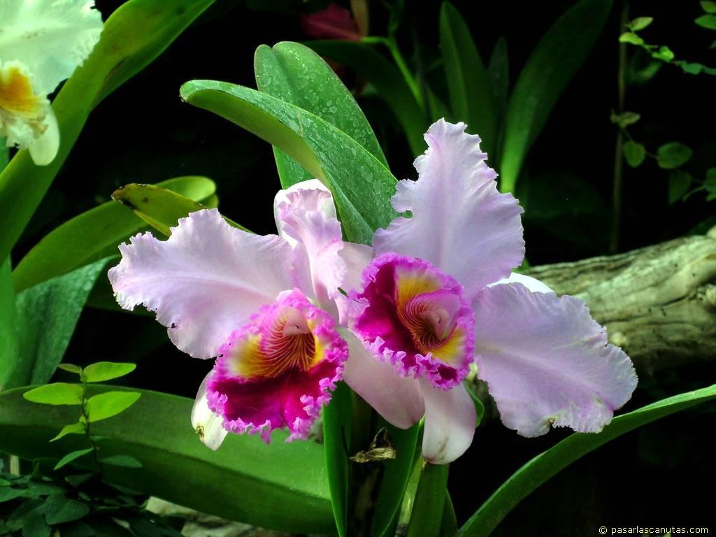 http://www.pasarlascanutas.com/fotos%20de%20flores/fotos%20de%20orquideas/foto_de_flor_orquidea_17.JPG