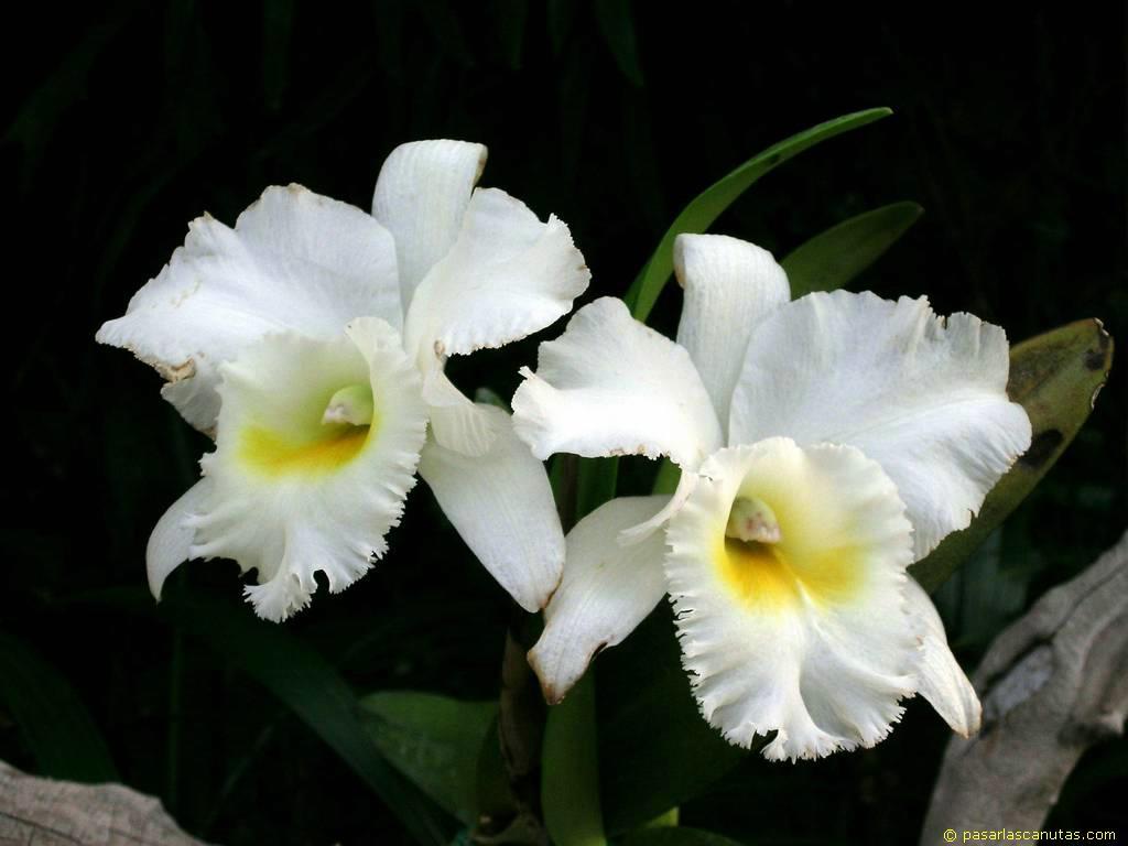 foto de flores orquídeas blancas y amarillas Cattleya