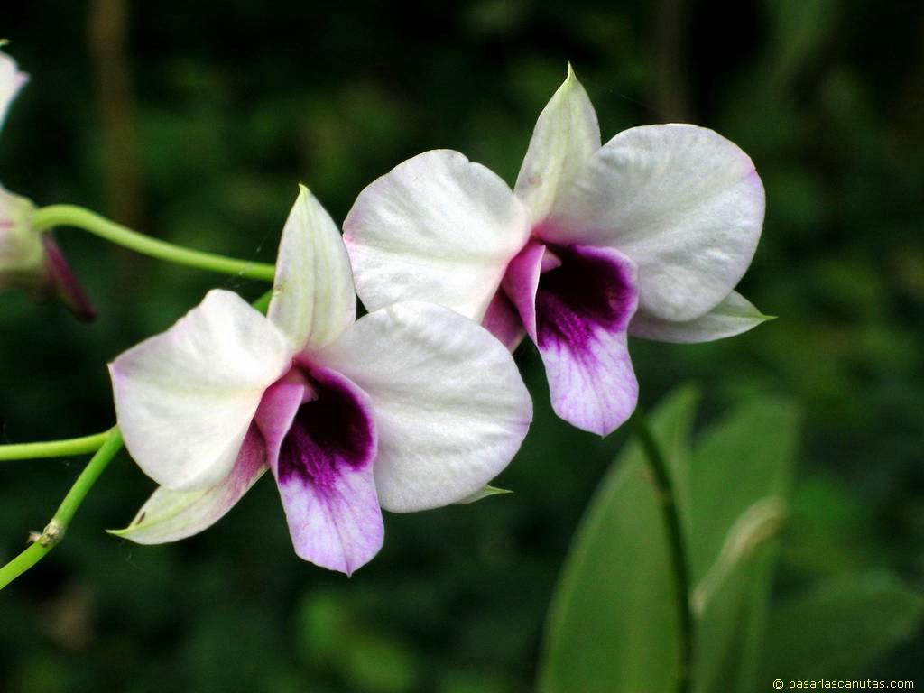fotos de flores orquideas pagina 2