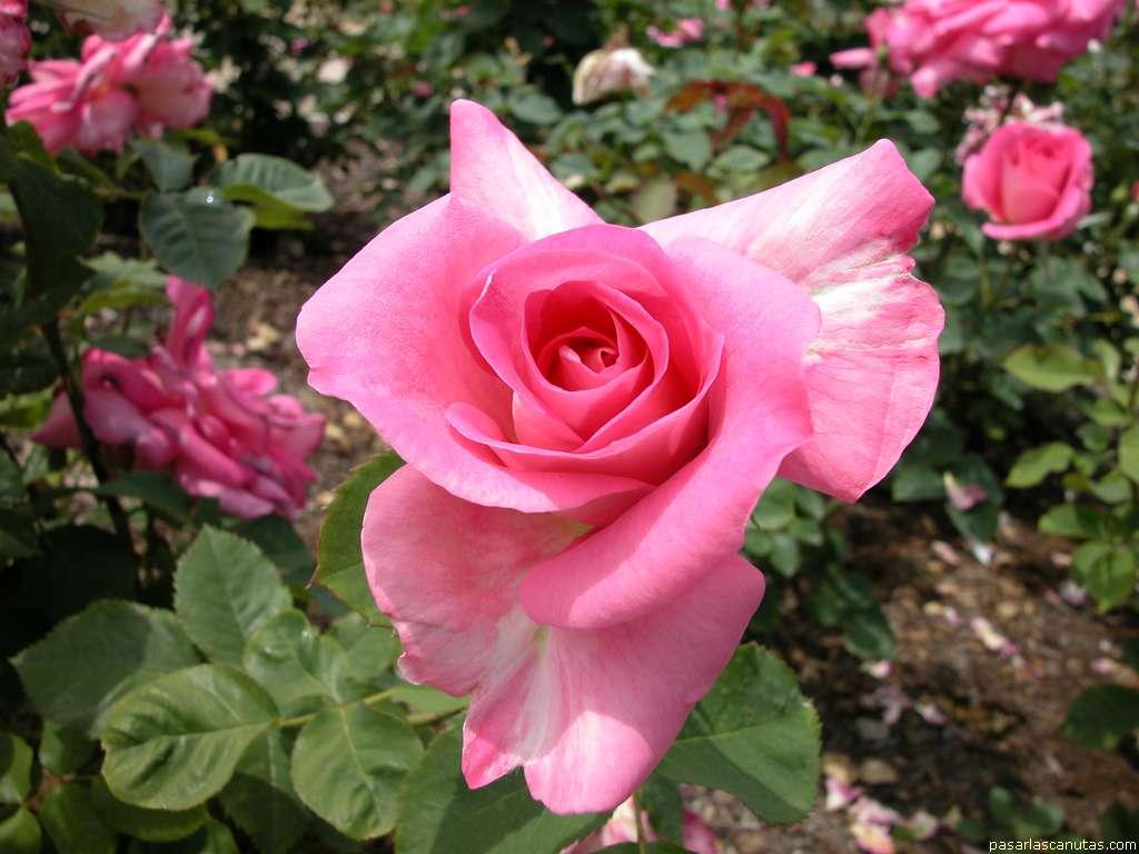 fotos de flores rosas flores fotos de flores imagenes de flores fondos