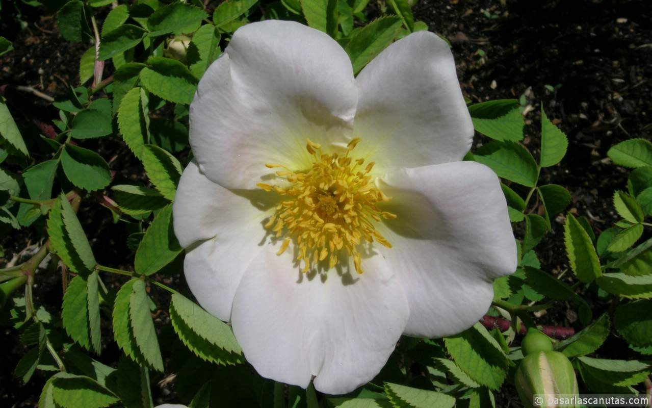 fondos de rosas en pasarlascanutas com: