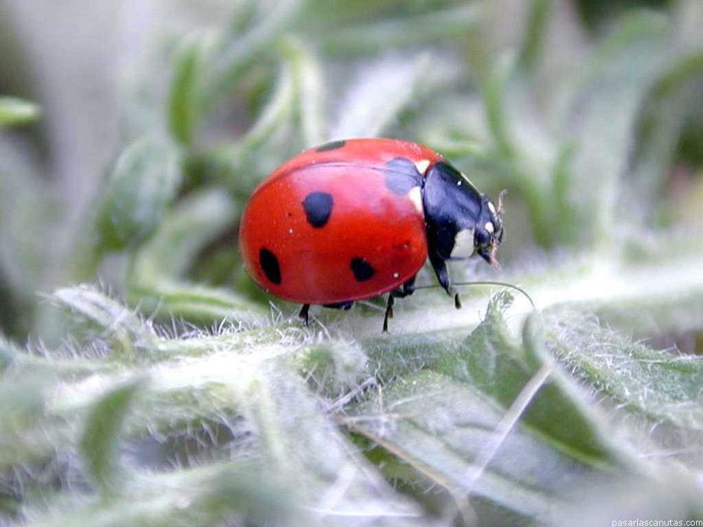 Fotos de mariquitas (ladybird beetle)